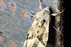 Achateule ((Phlogophora meticulosa) © 2019 Rainer Schnell